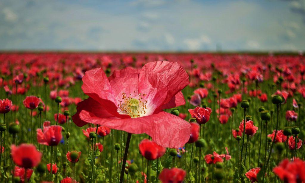 poppy-2447327_1920